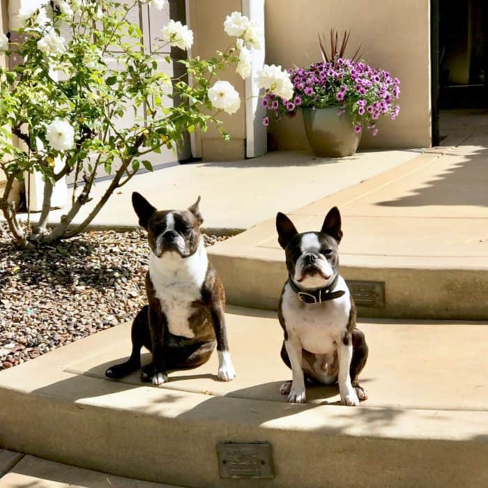 Cute Boston Terriers for Curb Appeal